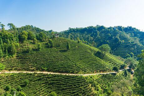 Champs de thé en Chine