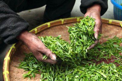 thé avant séchage en Chine