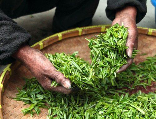 Origine du thé blanc